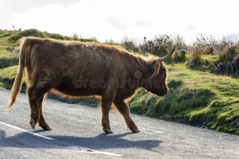 Higlandvee op de weg, Dartmoor royalty-vrije stock foto