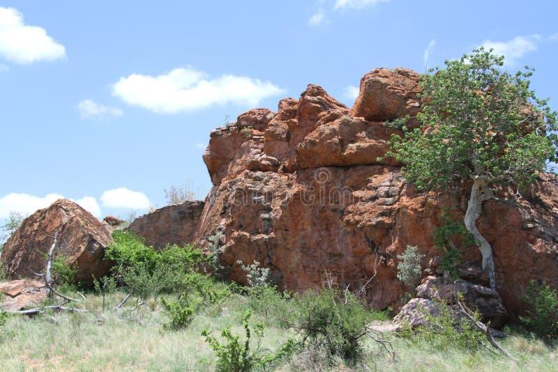 higo Grande-con hojas de la roca, abutilifolia de los ficus fotos de archivo libres de regalías