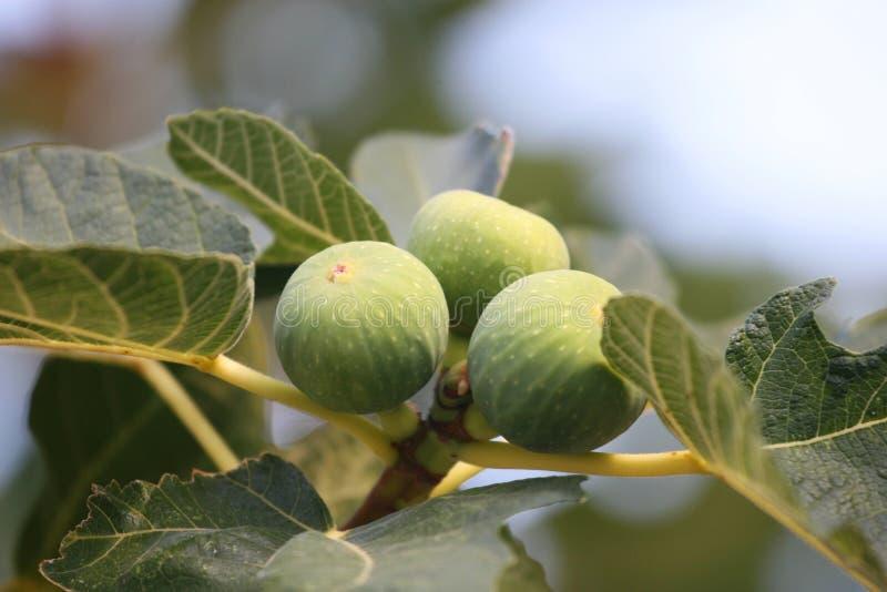 Higos - Ficus Carica imagen de archivo libre de regalías