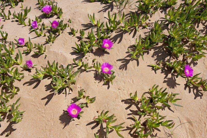 Higos hotentotes rojos - flores del desierto del lago Korission fotografía de archivo libre de regalías