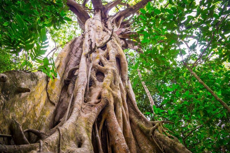 Higuera en selva tropical de la tribulación del cabo foto de archivo
