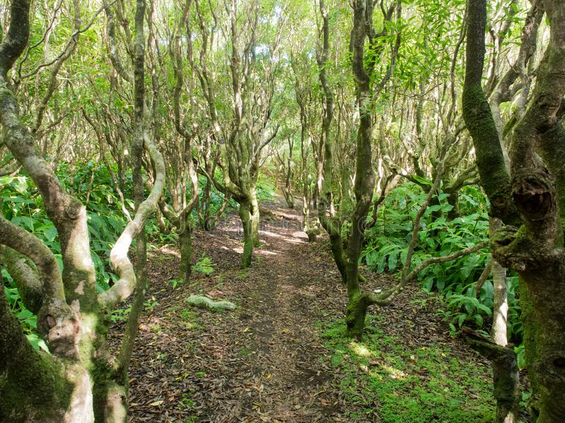 Hike through the forest on Faial Island, Azores Archipelago. Cabaco do Canto hike through the forest on Faial Island, Azores Archipelago royalty free stock images