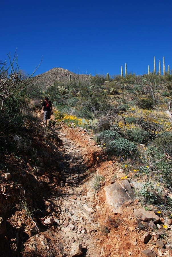 Hike no parque nacional do Saguaro fotos de stock royalty free