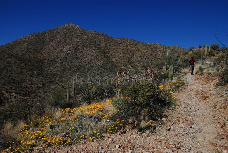 Hike in Saguaro National Park royalty free stock image