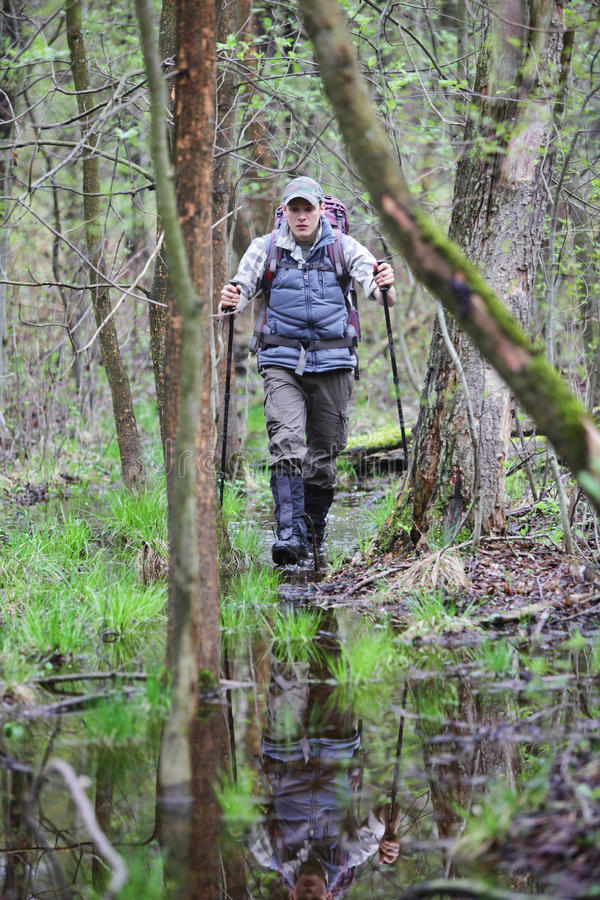 Hiker in the boggy forest walking with poles stock photos