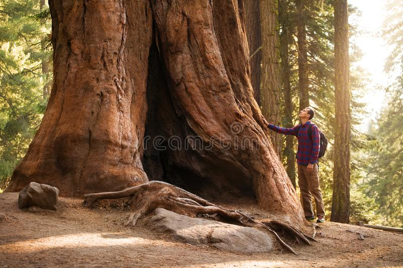 Hiker man in Sequoia National Park. Traveler male looking at the giant sequoia tree, California, USA stock photos