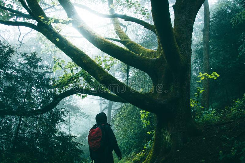 A hiker in a misty spooky forest in summer. Looking up at branches of an ancient tree stock photo