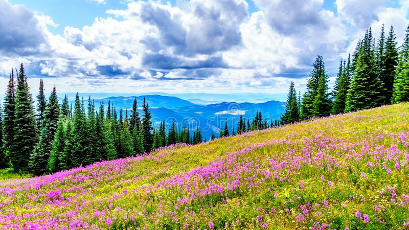 Hiking through alpine meadows covered in pink fireweed wildflowers in the high alpine royalty free stock photography