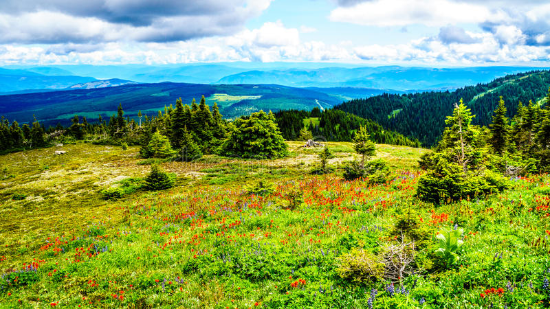 Hiking through Alpine Meadows full of colorful Wildflowers to Tod Mountain stock image
