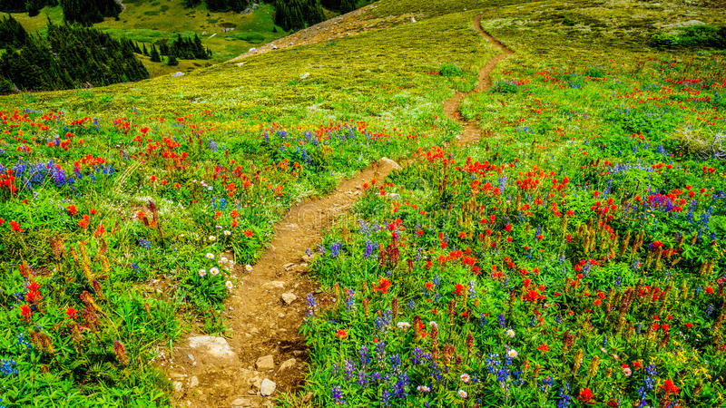 Hiking through Alpine Meadows full of colorful Wildflowers to Tod Mountain stock photography