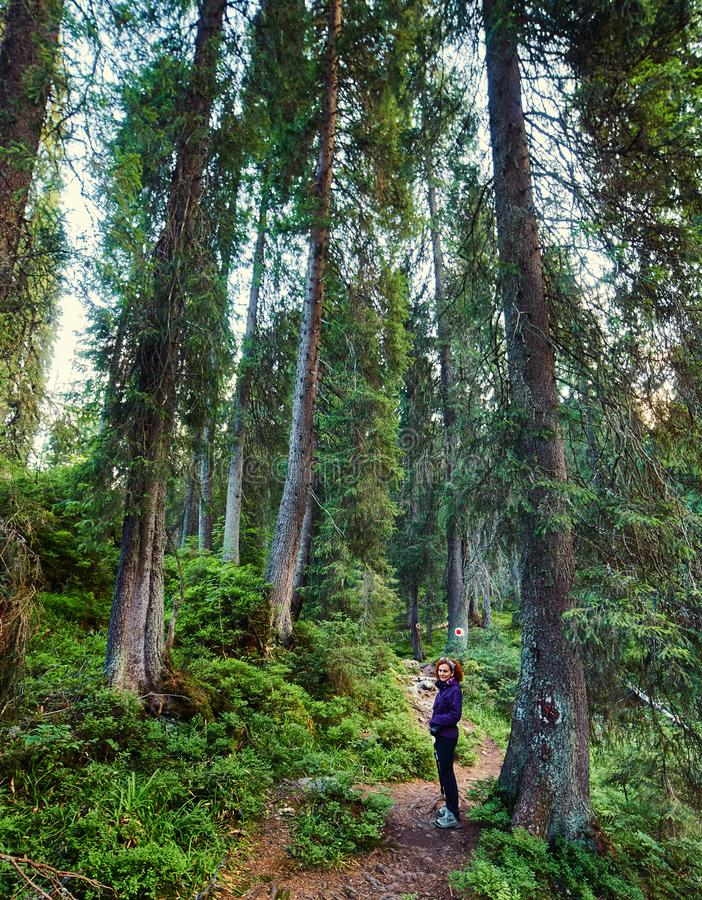 Hiking through big pine trees royalty free stock photography