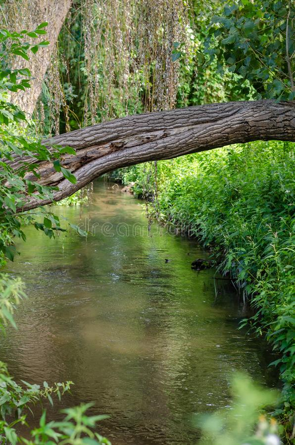 The trunk of a living growing tree through a narrow forest river. Natural bridge. Green background. Soft focus. royalty free stock photo