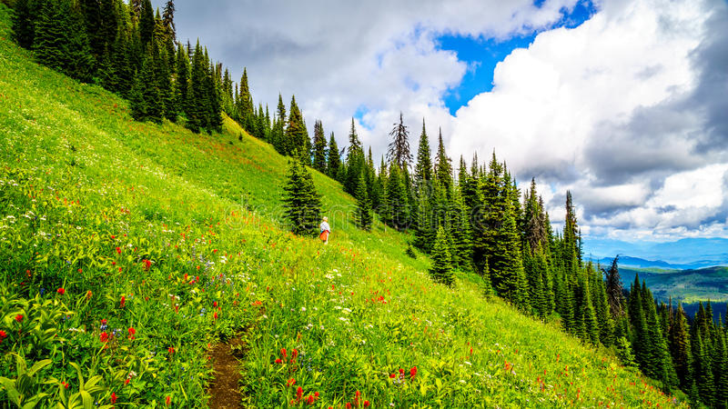 Hiking through the high Alpine Meadows covered in wild flowers to the top of Tod Mountain. In the Shuswap Highlands of central British Columbia, Canada stock image