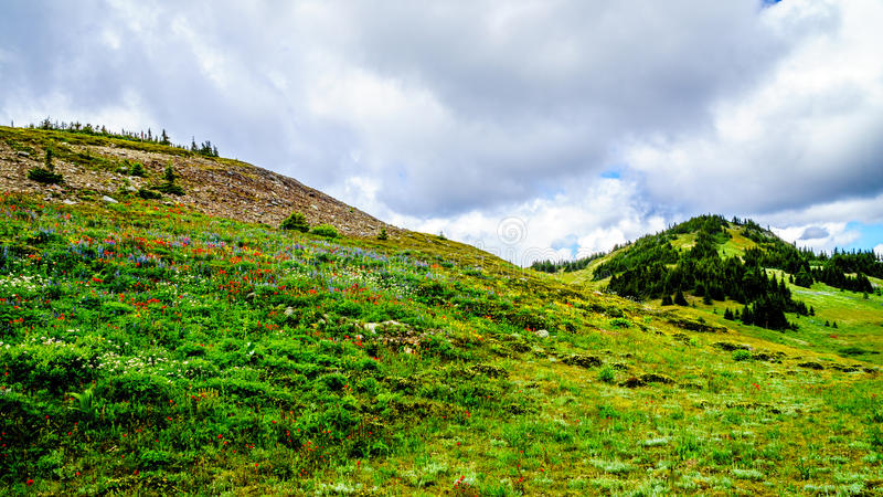 Hiking through the high Alpine Meadows covered with Wildflowers stock photos