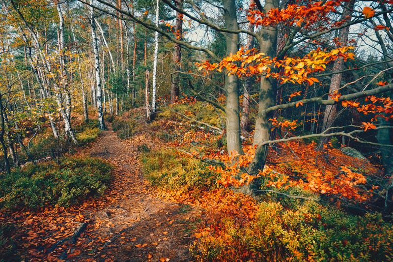 Hiking path trail in the beautiful autumn forest with golden colored trees and colorful foliage on sunny day royalty free stock photo