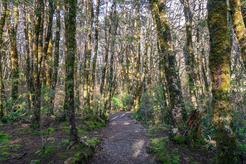 Hiking path, trek in mountain rainforest with trees covered in moss stock photos