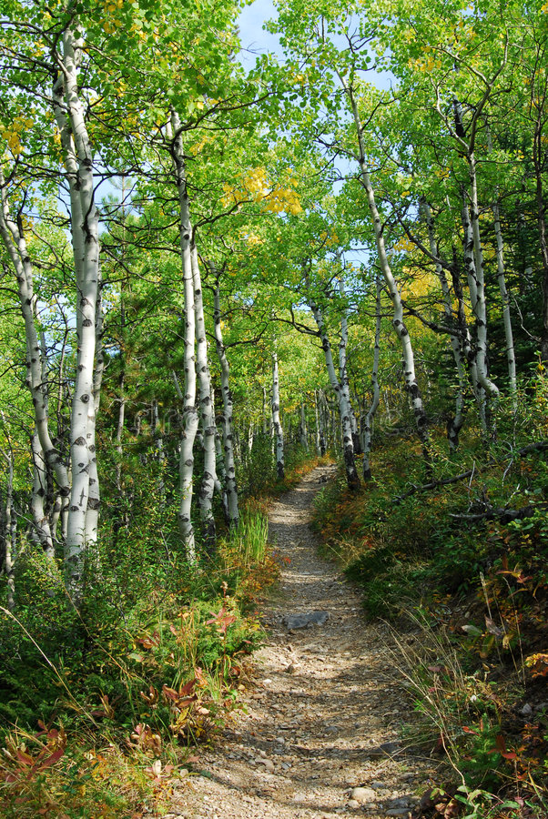 Download Hiking Trail In Aspen Forest Stock Photo - Image: 7074092