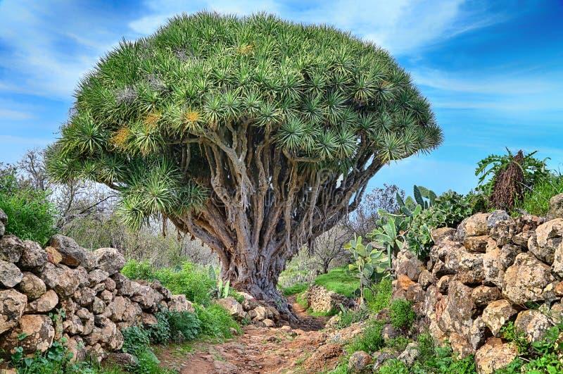Hiking trail with dragon Tree (La Palma, Canary Islands). Hiking trail with dragon Tree near Las Tricias (La Palma, Canary Islands) - HDR image royalty free stock photography