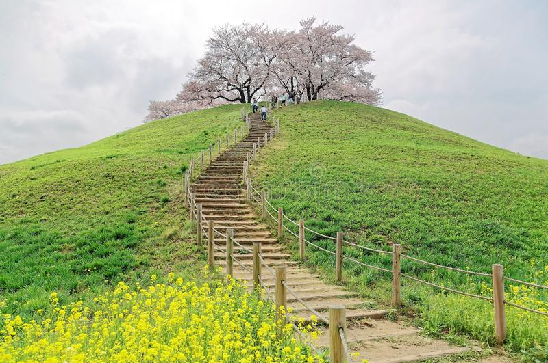 A hiking trail going up to the hilltop with beautiful sakura tree blossoms and green grassy meadows. ~ Spring scenery of idyllic Japanese countryside in Saitama stock photo