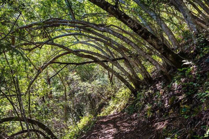 Hiking trail lined up with Bay Laurel trees Californica Umbellularia, Uvas Canyon County Park, Santa Clara county, California royalty free stock image