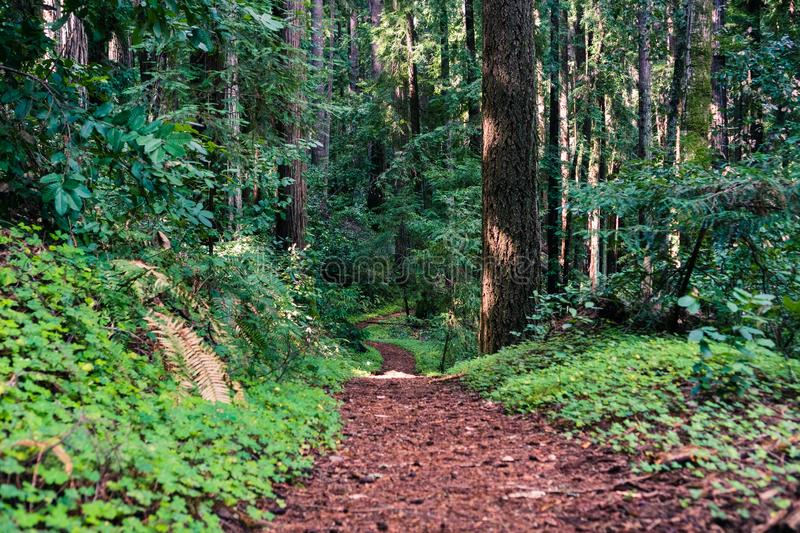 Hiking trail lined up with redwood sorrel through the forests of Henry Cowell State Park, Santa Cruz mountains, San Francisco bay. Area, California stock photography
