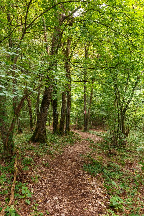 Deciduous forest in the summer. Hiking trail through a lush deciduous forest in the summer stock image