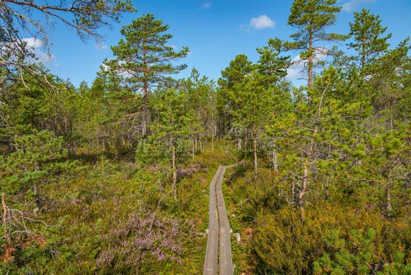 Hiking trail in scandinavian national park in a wetland bog. Kurjenrahka National Park. Turku, Finland. Nordic natural landscape royalty free stock photo