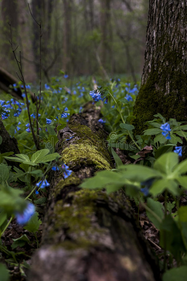 Hiking Trail and Virginia Bluebell Wildflowers - Ohio. A carpet of Virginia Bluebell wildflowers Mertensia Virginica line a hiking trail at a park in Poland royalty free stock photography