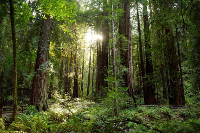 Hiking trails through giant redwoods in Muir forest near San Francisco, California royalty free stock photography
