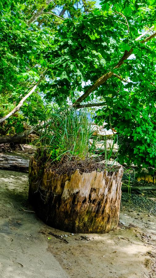 Green Grass and Plants Growing On Top Of A Dead Tree Trunk Getting Needed Nutrients From The Decomposition Of The Fallen Tree. Life will find a way, Just like royalty free stock image