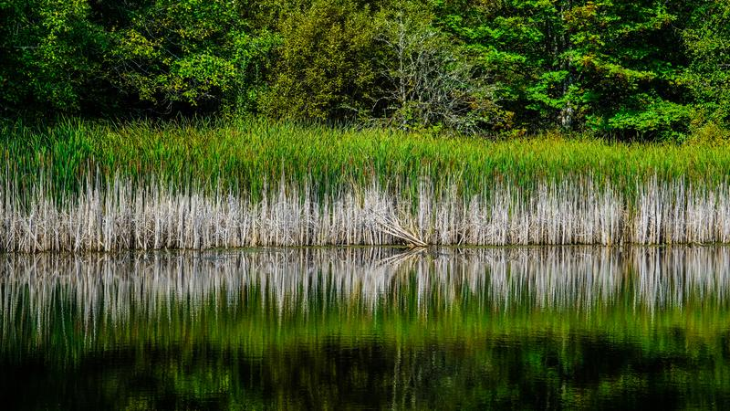 Reflection Of the Tall Grasses On Marlake Lake In The West Hylebos Wetlands Park In Early Autumn, Federal Way, Washington, USA stock photo