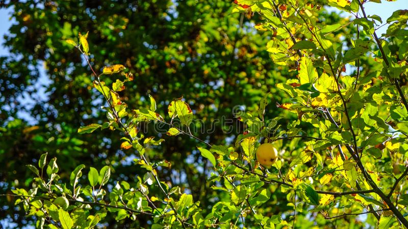 Apple Tree Beautifully Lit By The Afternoon Sun In The West Hylebos Wetlands Park In Early Autumn, Federal Way, Washington, United. Found a couple wild apple royalty free stock photos