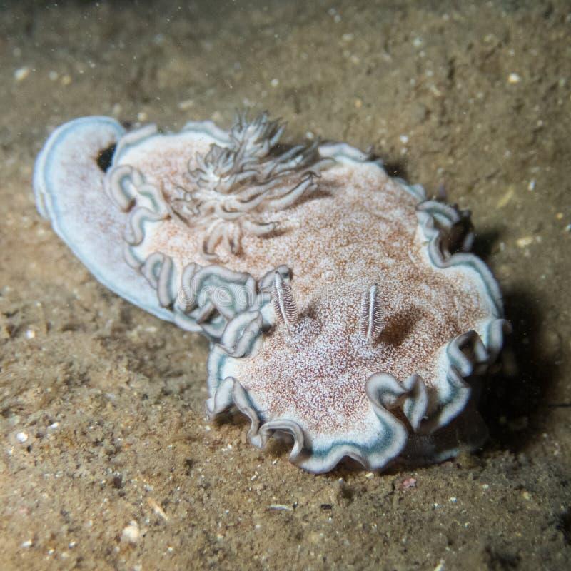 Hikuerensis di Glossodoris fotografie stock