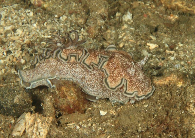 Hikuerensis glossodoris †Nudibranch « стоковая фотография rf