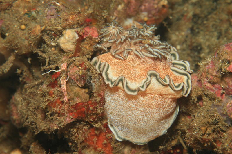 Hikuerensis Nudibranch - Glossodoris стоковое фото rf