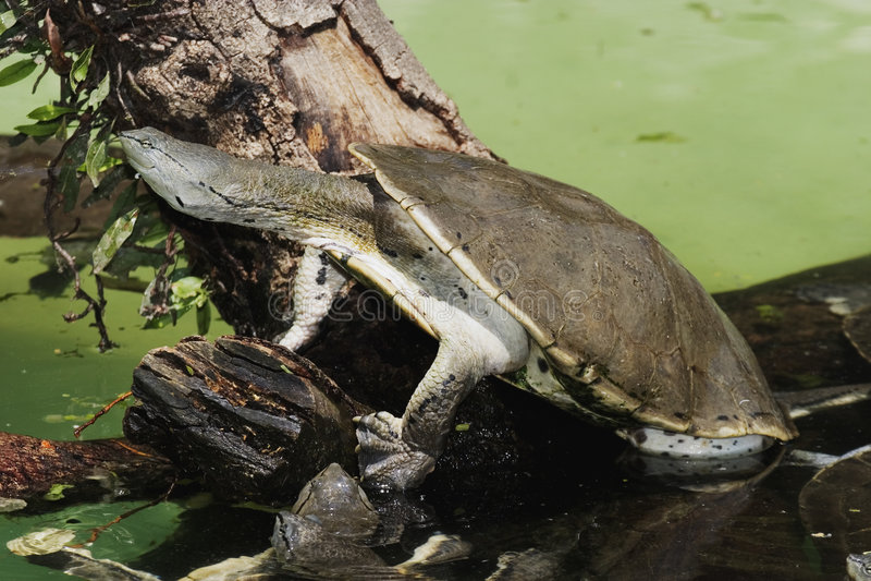 hilaire hånglade s-sidosköldpaddan arkivbilder