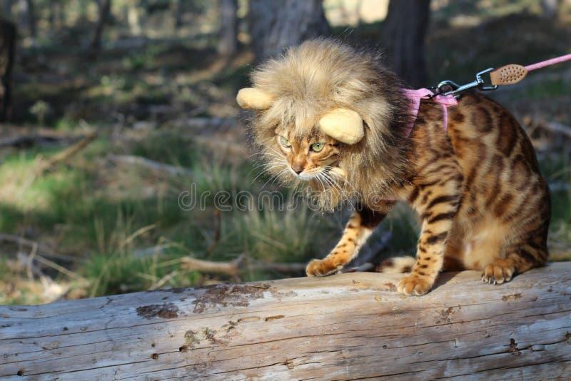 Hilarious Bengal cat wearing a wig royalty free stock image