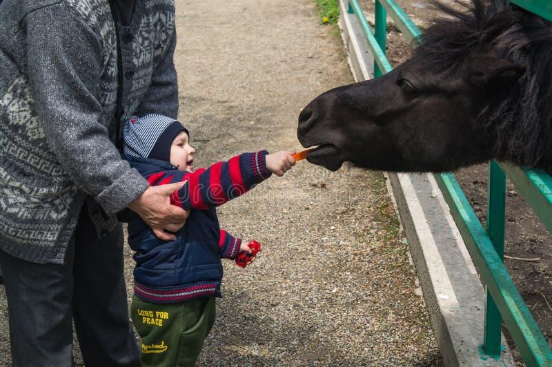 hild geven de jongen en Zijn grootmoeder voedsel voor klein en jong Przewalski-paard stock foto's