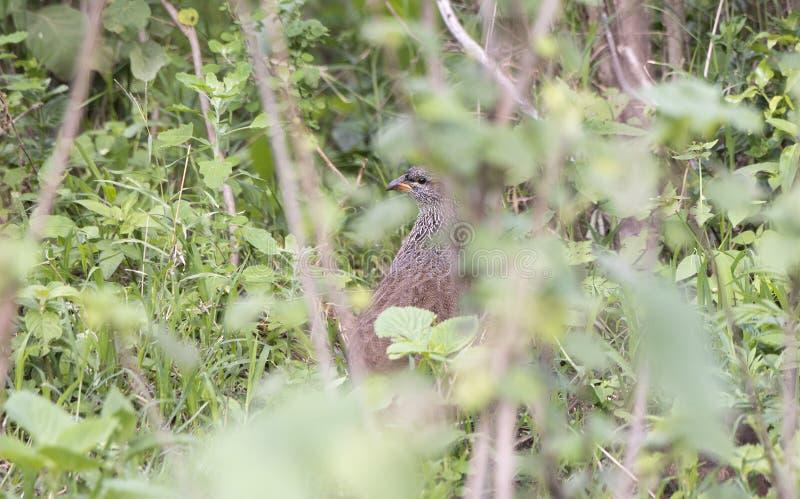 Hildebrant`s Francolin Pternistis hildebrandti Hiding in Deep Brush. In Northern Tanzania stock image