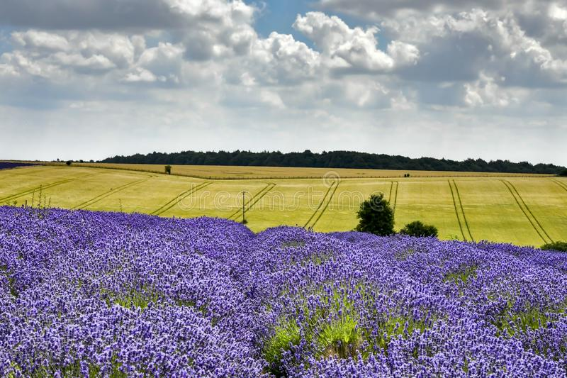 Hill Barn Farm, Snowshill, Worcestershire England UK, July 14 2018: lavender field in England UK. Lavender Farm in the Cotswolds producing a wide range of royalty free stock photo