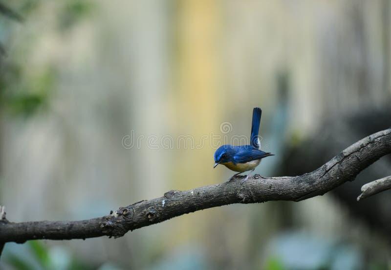 Hill Blue Flycatcher male, Wild bird in Vietnam royalty free stock photo