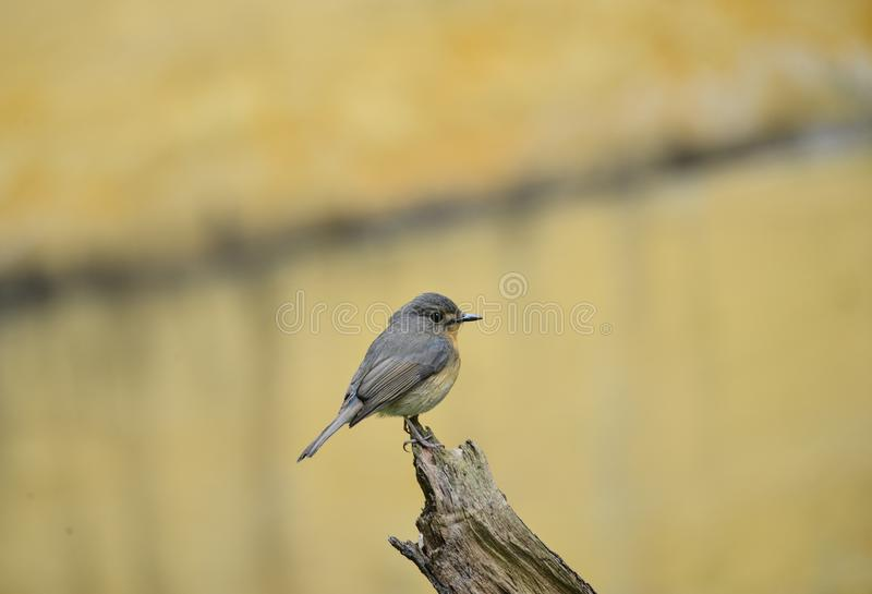 Hill Blue Flycatcher young male, Wild bird in Vietnam stock image