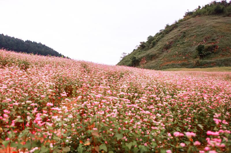 Hill of buckwheat flowers at sunny day in Ha Giang, Vietnam.  royalty free stock image