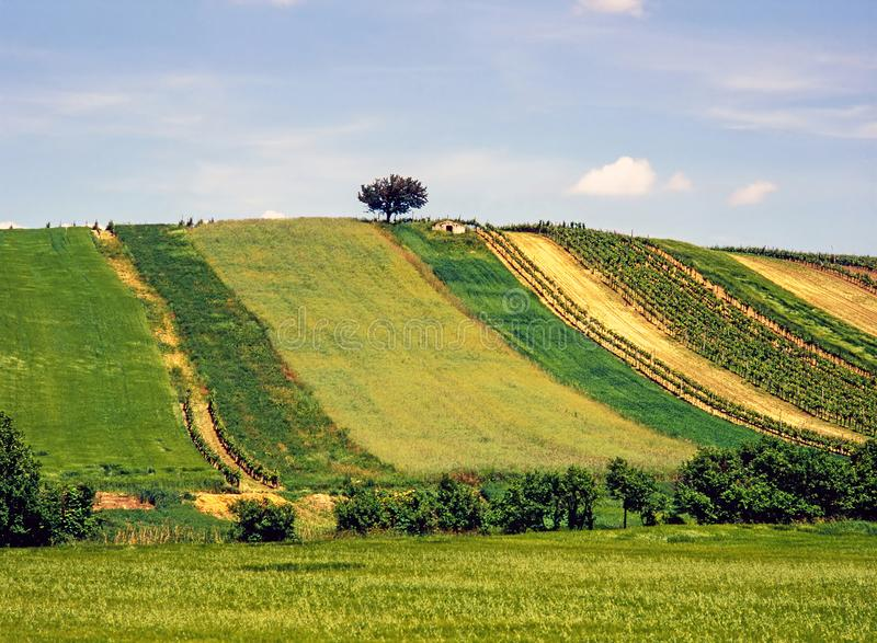 Hill with fields of grapevine and grain stock photo
