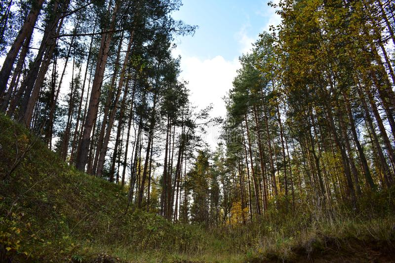 Hill forest pine trees on a high slope, grass, sky. Clouds stock image