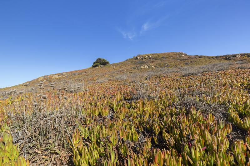 Hill full of Carpobrotus edulis plant in Portugal. Invasive Carpobrotus edulis plant also known as Hottentot-fig, ice plant, highway ice plant, pigface and sour stock photography