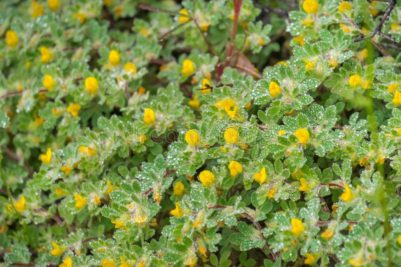 Hill Lotus (Acmispon brachycarpus) wildflowers covered in water droplets on a rainy spring day, Castle Rock State Park, San. Francisco bay area, California royalty free stock images
