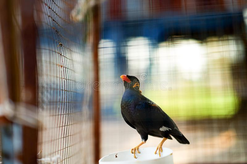 Hill myna or  bird in cage net foreground in detain or imprison life concept royalty free stock photos