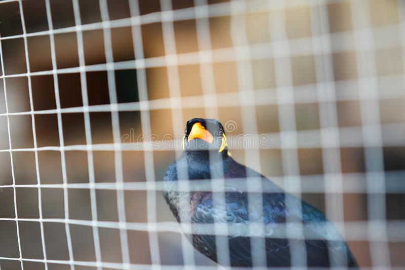 Hill myna or black bird in cage net foreground in detain or imprison life  concept royalty free stock image