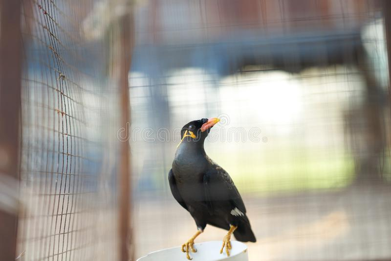 Hill myna or black bird in cage net  foreground in detain or imprison life concept stock photo